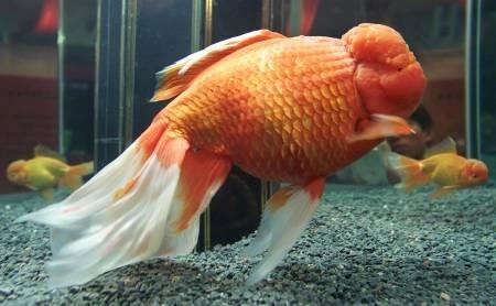 Quels poissons avec des japonais page 2 for Poisson rouge japonais