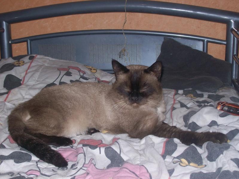 chats siamois birmans etc trouv s sur le net page 17. Black Bedroom Furniture Sets. Home Design Ideas