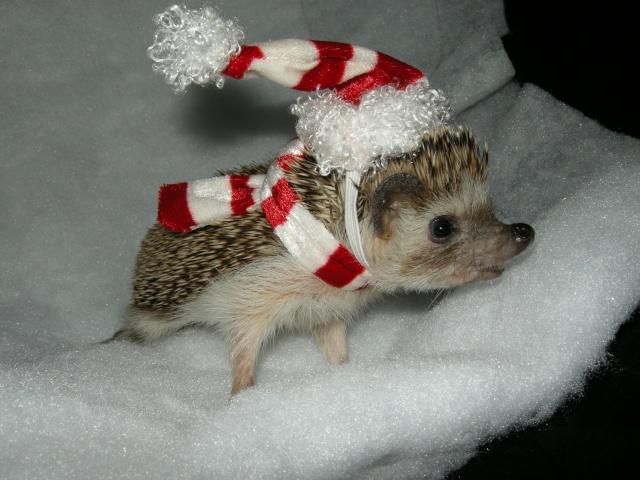 Little santa hat hedgehog central hedgehog pet care for Christmas pictures of baby animals
