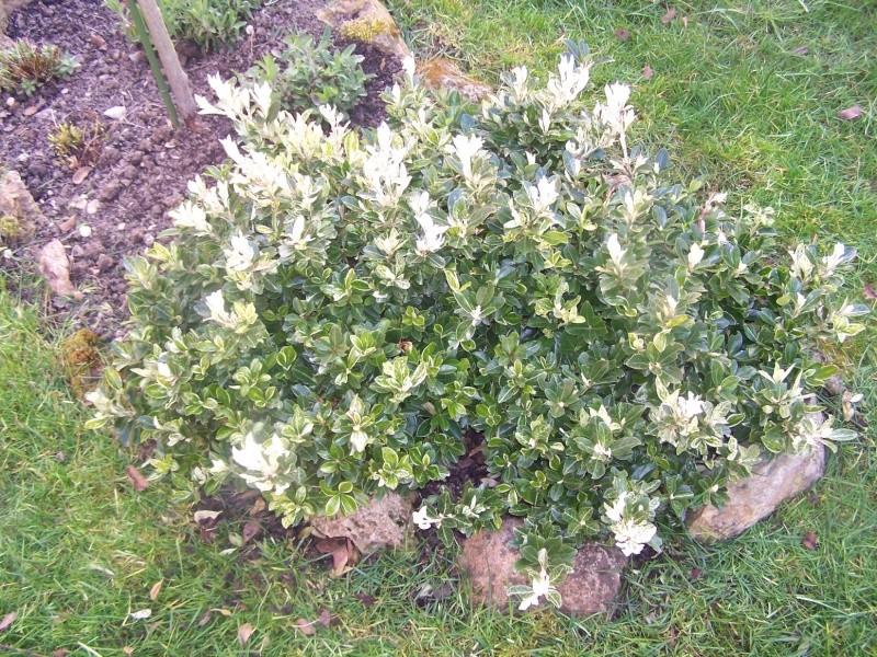Plante Persistante Of Fusain Pierrolino