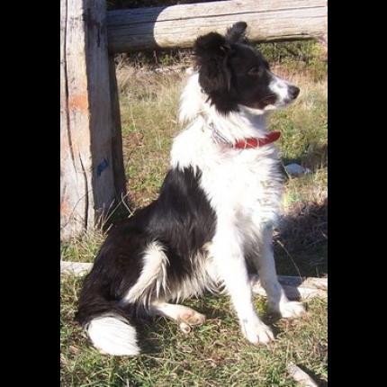 mise a l adoption trouvee le 22 01 2013 chienne border collie blanche et noire avignon 84. Black Bedroom Furniture Sets. Home Design Ideas